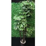 Ficus estilo Oriental Verde-Blanco