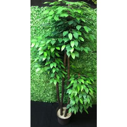 Ficus estilo Oriental Verde